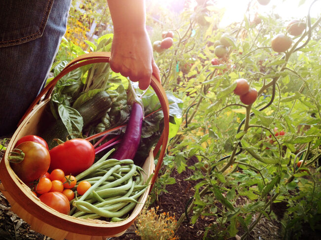 A person in a garden holding a basket full of colorful vegetables.